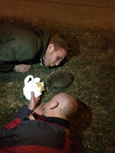 Feeding hedgehog kebabrulle
